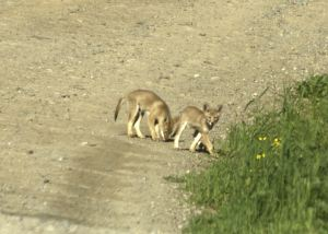 Later that summer I spotted two coyote pups on the road