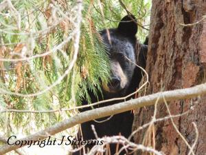 A Black Bear in early spring out back.