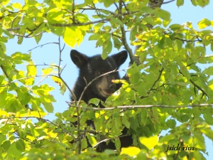 One of two orphaned black bear cubs feasting on cherries last year