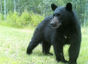 A Black Bear captured on a trail cam