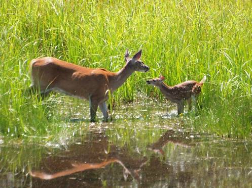 White-tailed deer and fawn