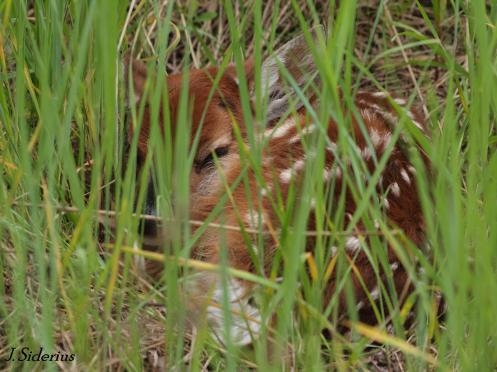 A white-tailed deer fawn hidden in the grass