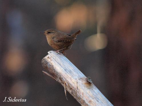 A curious Winter Wren