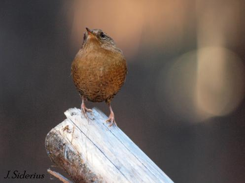 An uncommon still moment for a Winter Wren