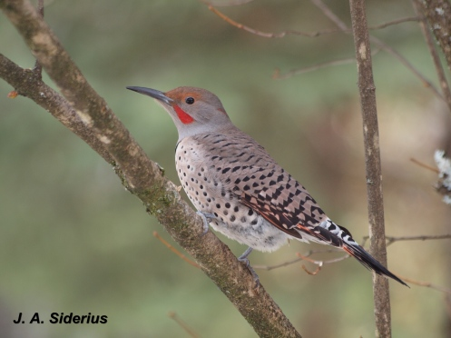 A Northern Flicker male at my bird feeder