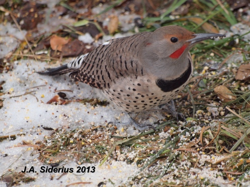 A male Northern Flicker feeding on the ground