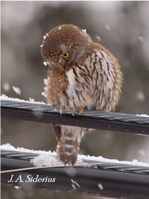 A Pygmy Owl perched on a power line in winter