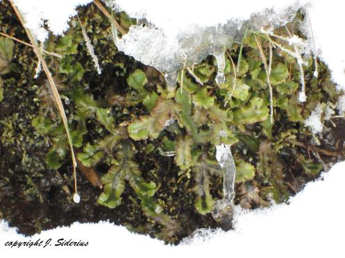 Ice and Liverwort