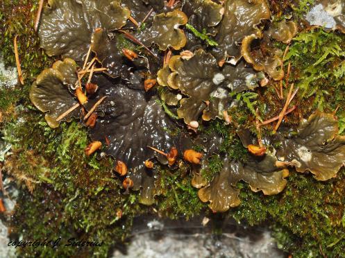 Peltigera polydactyla