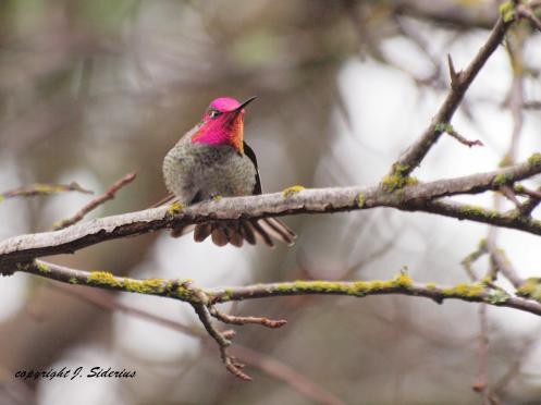 Allen's Hummingbird Male in Full Colour