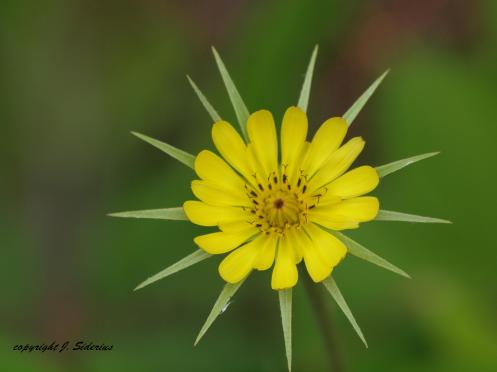 A Yellow Hawkweed