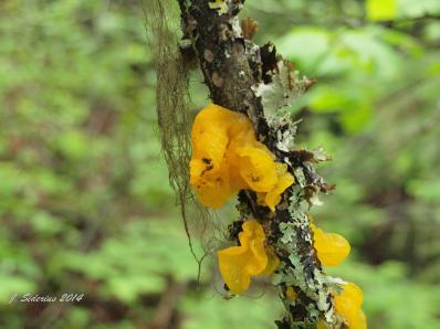 Gelatinous Mushroom  Dacrymyces palmatus