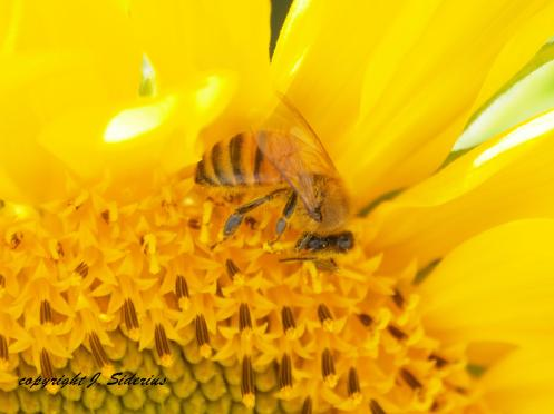 A Honey Bee foraging on a Sunflower