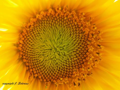 Varied, brilliant yellows of a sunflower