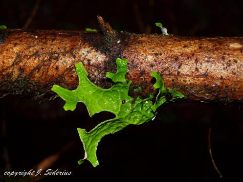 Lobaria pulmonaria also called Lung Lichen