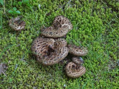 Snake or mushroom? Hydnum imbricatum