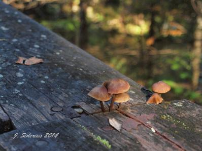 Another Mycena Mushroom