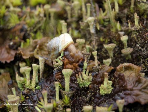Snail in Cladonia Forest