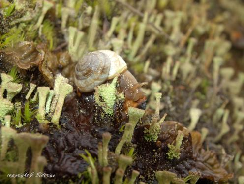 Snail in Cladonia Lichen Forest