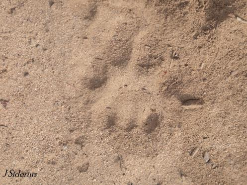 Cougar track in the dirt of an old logging road
