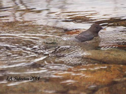 A Dipper emerges with two Kokanee Salmon eggs