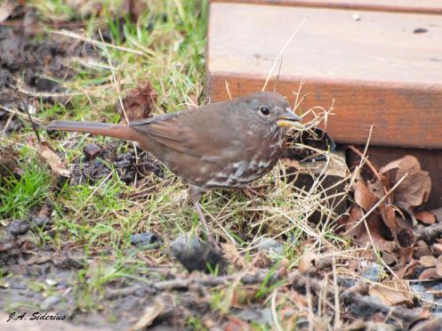 Fox Sparrow in Victoria