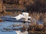 Trmpeter Swans inFlight