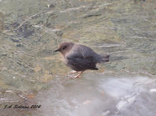 An American Dipper on Ice