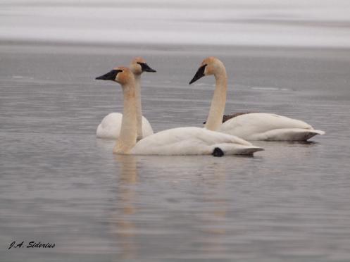Trumpeter Swans in the Kootenays