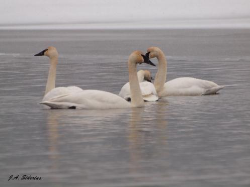 A family of Trumpeters