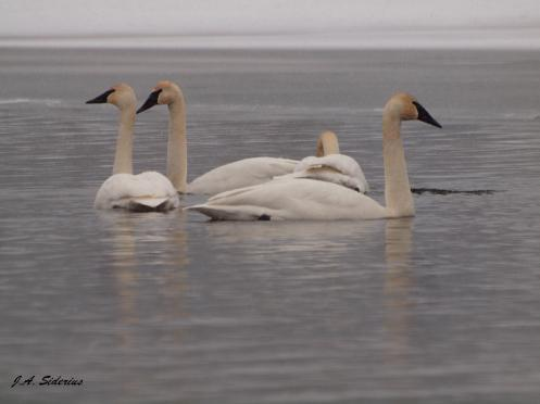 Trumpeter Swans feeding at Taghum