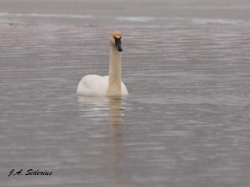 A curious Trumpeter Swan