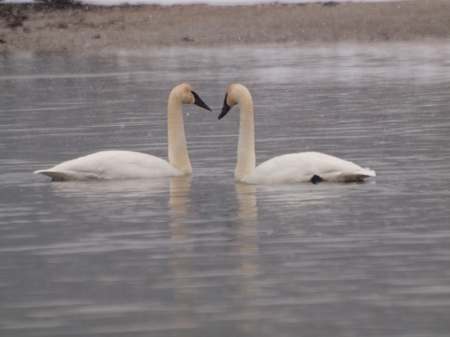 Two Trumpeter Swans