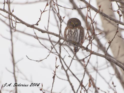 A Northern Pygmy Owl hunting for food in a frozen landscape