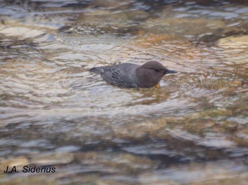 A swimming dipper