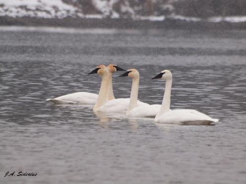 Trumpeter Swans at Taghum