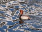 Male Redhead Duck
