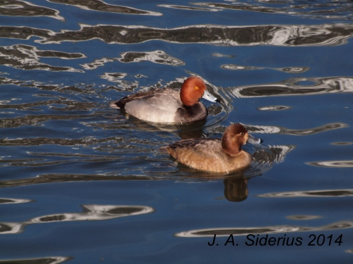 A male and female Redhead Duck