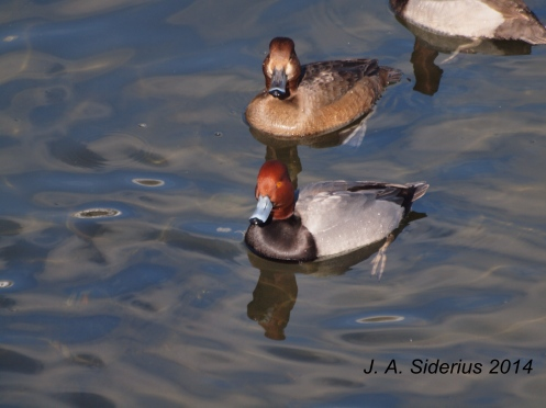 A male and female Redhead Ducks