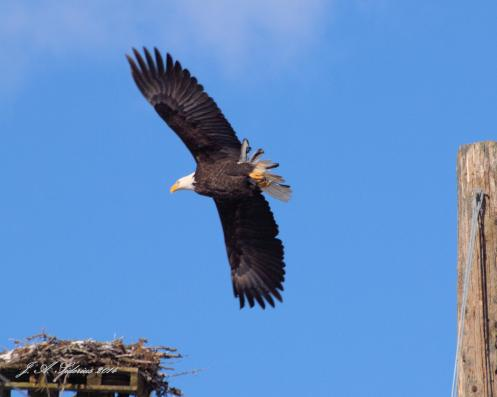 A Bald Eagle at an old Osprey Nest