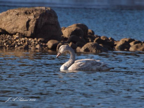 An immature Trumpeter Swan