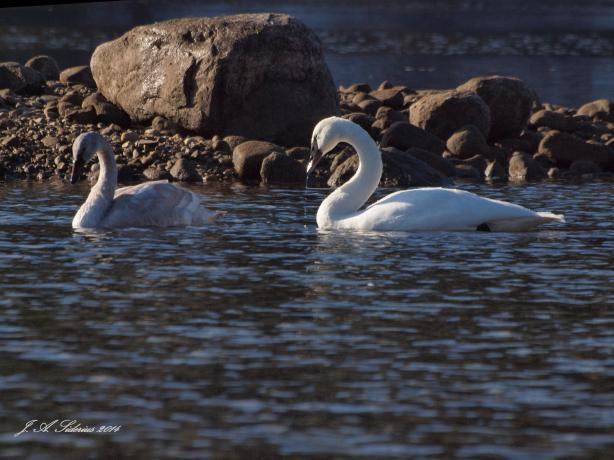 An Immature and adult Trumpeter Swan
