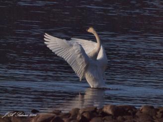 Dawn Swan