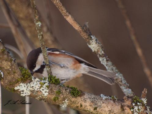 Chestnut-backed Chickadee feeding