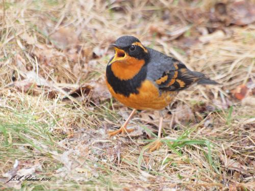 A singing male Varied Thrush