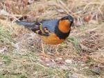 Male Varied Thrush