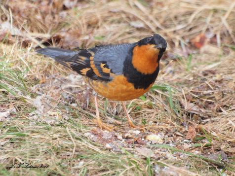 A male Varied Thrush visiting my feeder