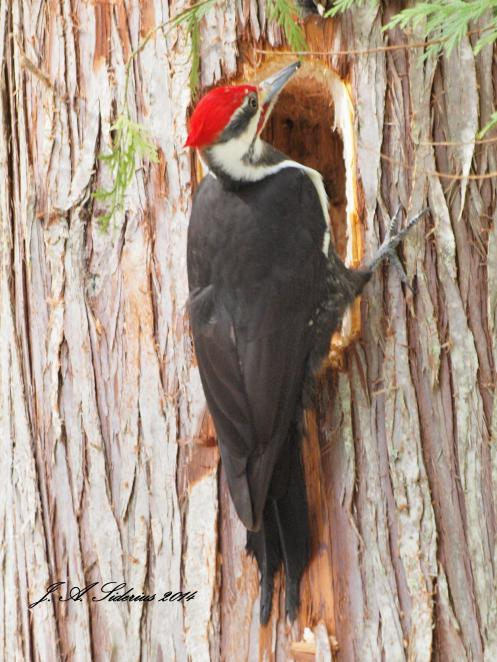 A male Pileated Woodpecker at the mouth of its excavation
