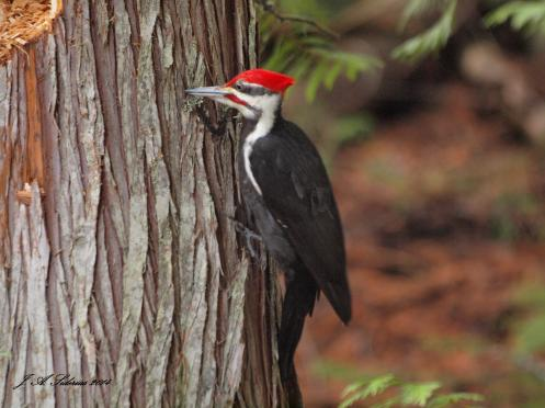 A male Pileated Woodpecker