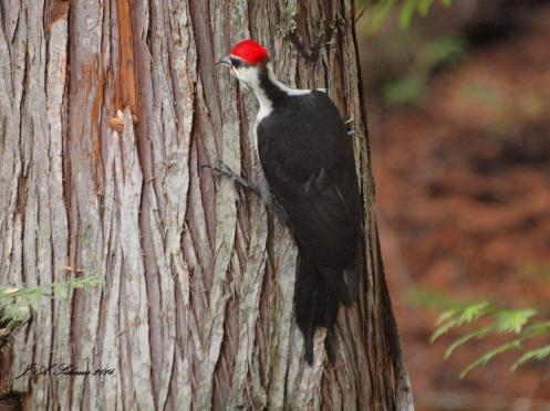 A male Pileated Woodpecker using its tongue to find food in cedar bark